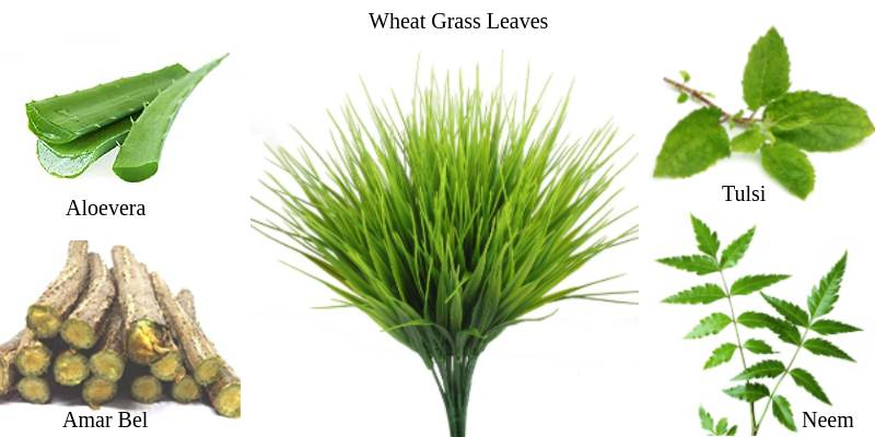 Things Required to make wheat grass juice more effective